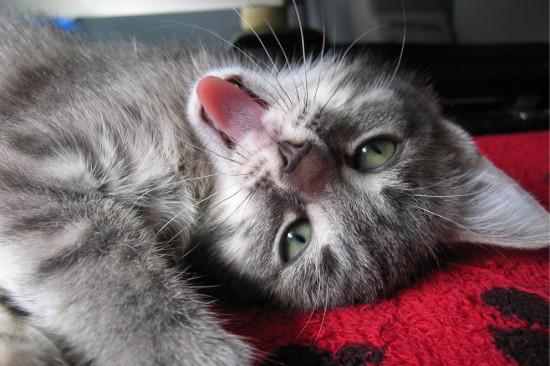 gatito en redes